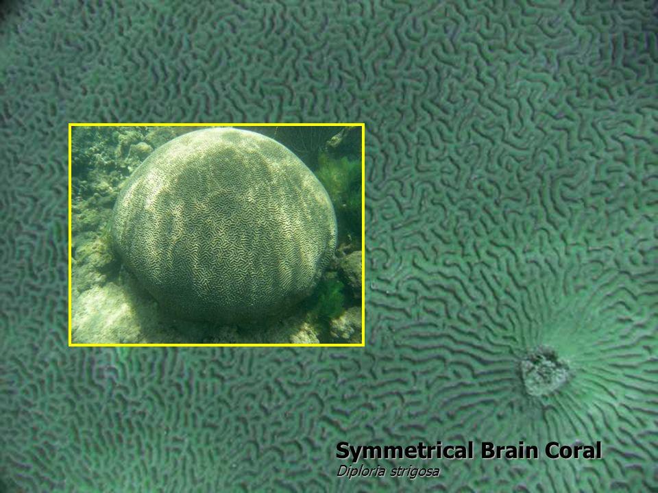 Symmetrical Brain Coral Diploria strigosa