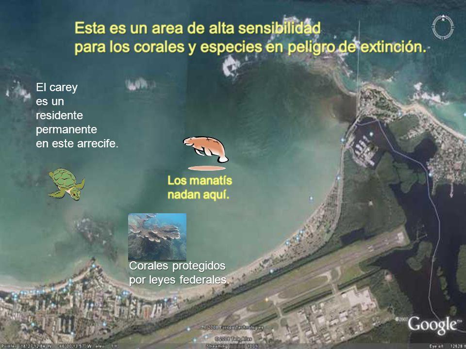 El carey es un residente permanente en este arrecife. Corales protegidos por leyes federales.