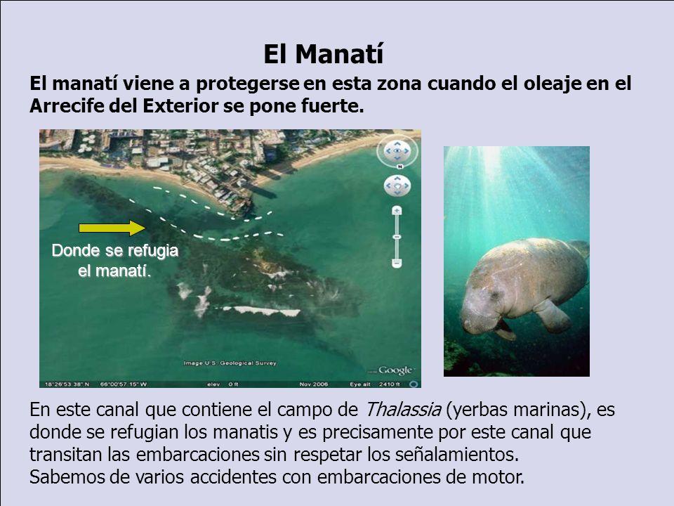 El manatí viene a protegerse en esta zona cuando el oleaje en el Arrecife del Exterior se pone fuerte. En este canal que contiene el campo de Thalassi