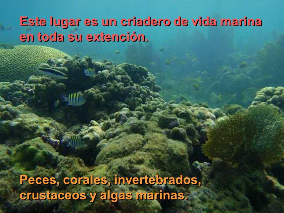 Este lugar es un criadero de vida marina en toda su extención. Este lugar es un criadero de vida marina en toda su extención. Peces, corales, inverteb
