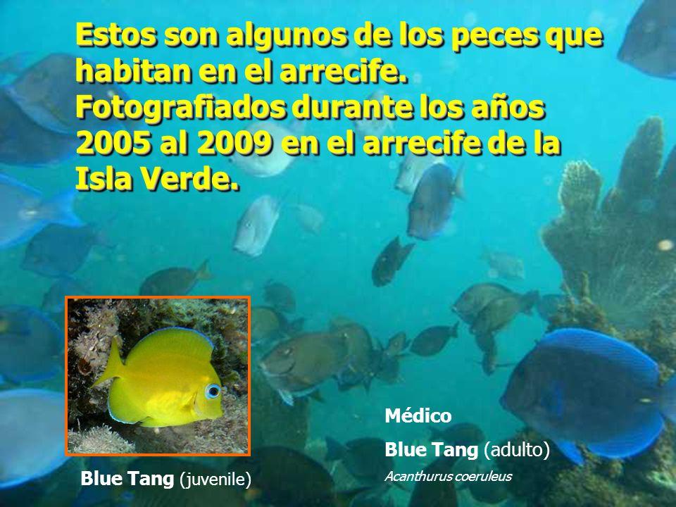 Blue Tang (juvenile) Médico Blue Tang (adulto) Acanthurus coeruleus Estos son algunos de los peces que habitan en el arrecife. Fotografiados durante l