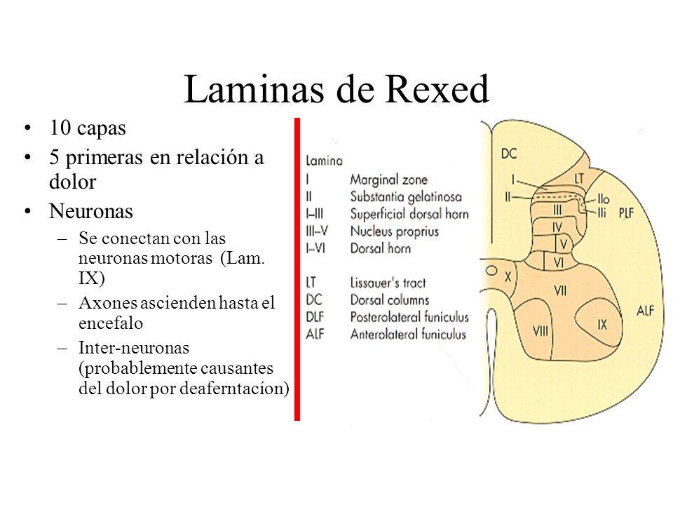 Laminas de Rexed Tracto de Lissauer –Fibras mielinizadas y no mielinizadas que ascienden y descienden 1-3 niveles Lamina I –Noci y termo receptores Lamina II –Sustancia gelatinosa –Noci-termo-mecano receptores –Red de neuronas que modulan el estimulo nociceptívos