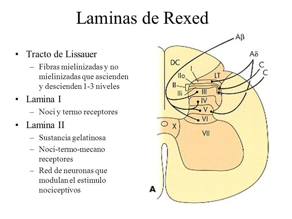 Laminas de Rexed Tracto de Lissauer –Fibras mielinizadas y no mielinizadas que ascienden y descienden 1-3 niveles Lamina I –Noci y termo receptores La