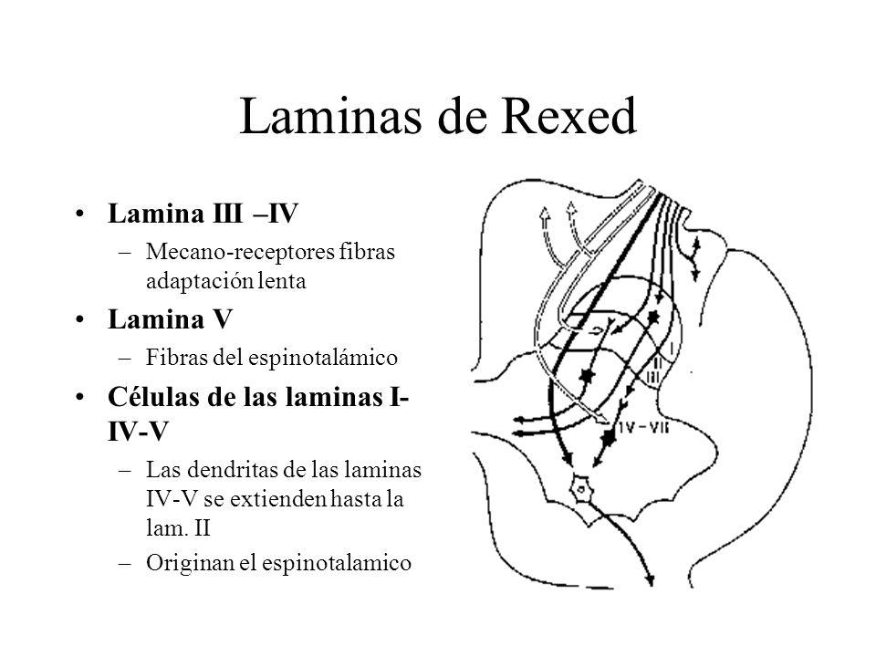 Laminas de Rexed Lamina III –IV –Mecano-receptores fibras adaptación lenta Lamina V –Fibras del espinotalámico Células de las laminas I- IV-V –Las den
