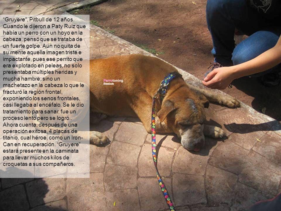 Gruyere, Pitbull de 12 años. Cuando le dijeron a Paty Ruiz que había un perro con un hoyo en la cabeza, pensó que se trataba de un fuerte golpe. Aún n