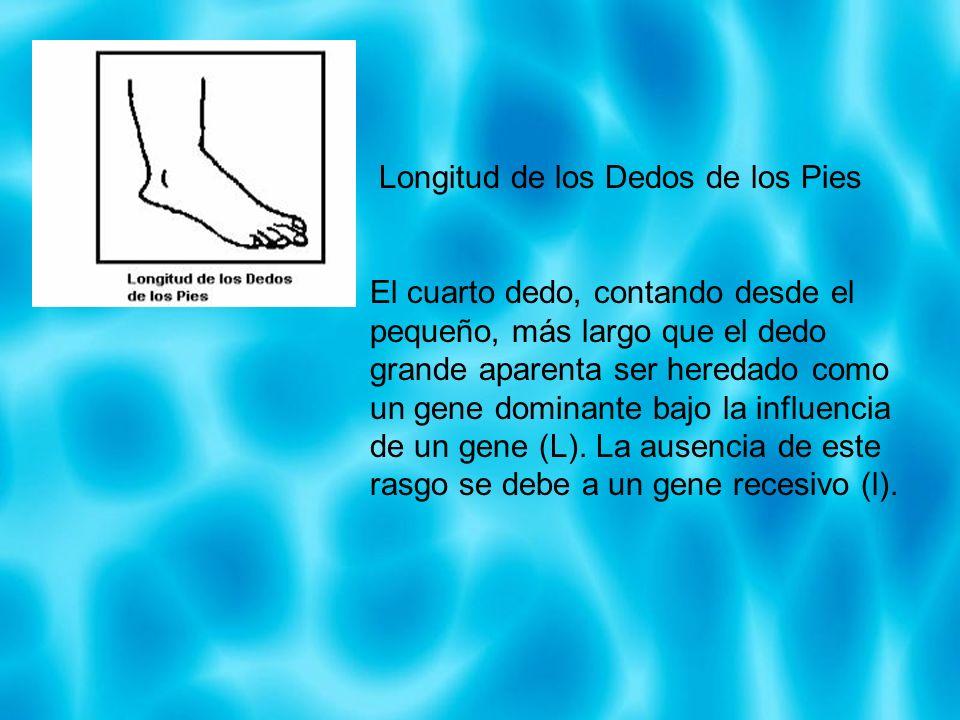 Longitud de los Dedos de los Pies El cuarto dedo, contando desde el pequeño, más largo que el dedo grande aparenta ser heredado como un gene dominante