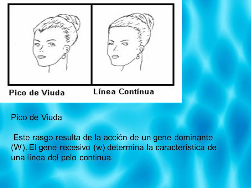 Pico de Viuda Este rasgo resulta de la acción de un gene dominante (W). El gene recesivo (w) determina la característica de una línea del pelo continu