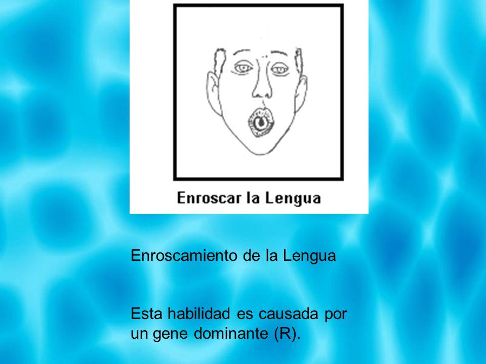 Enroscamiento de la Lengua Esta habilidad es causada por un gene dominante (R).