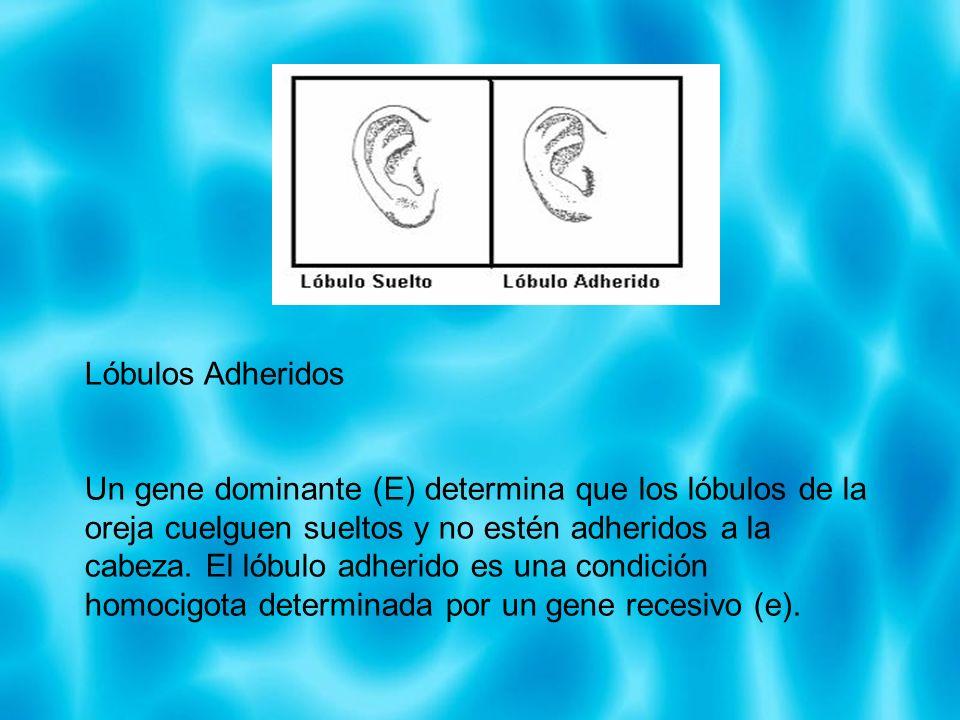 Lóbulos Adheridos Un gene dominante (E) determina que los lóbulos de la oreja cuelguen sueltos y no estén adheridos a la cabeza. El lóbulo adherido es