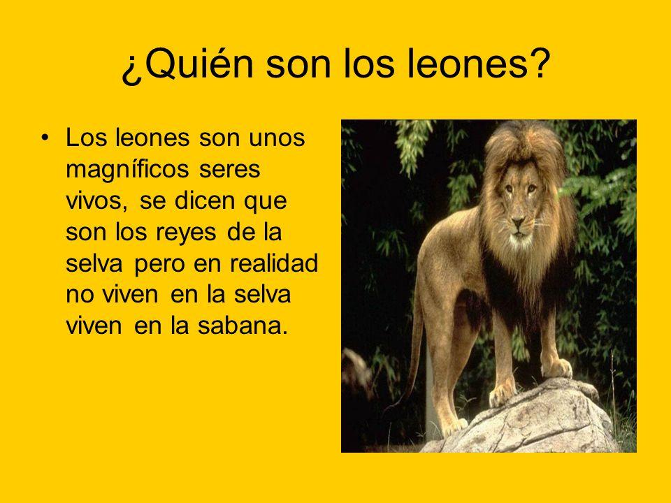 ¿Quién son los leones? Los leones son unos magníficos seres vivos, se dicen que son los reyes de la selva pero en realidad no viven en la selva viven