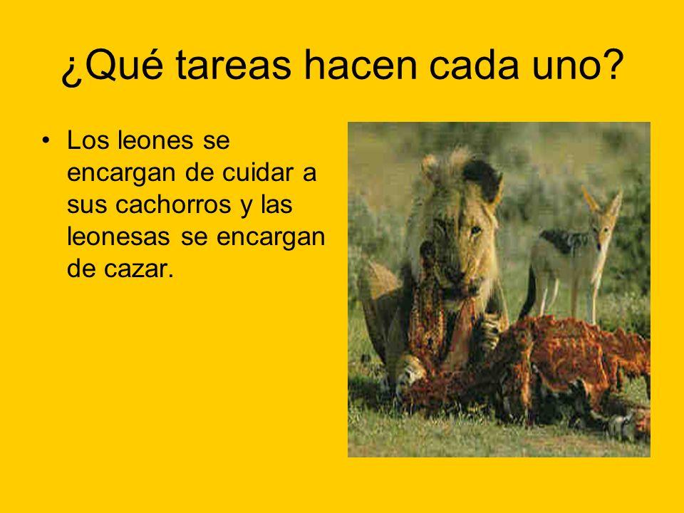 ¿Qué tareas hacen cada uno? Los leones se encargan de cuidar a sus cachorros y las leonesas se encargan de cazar.