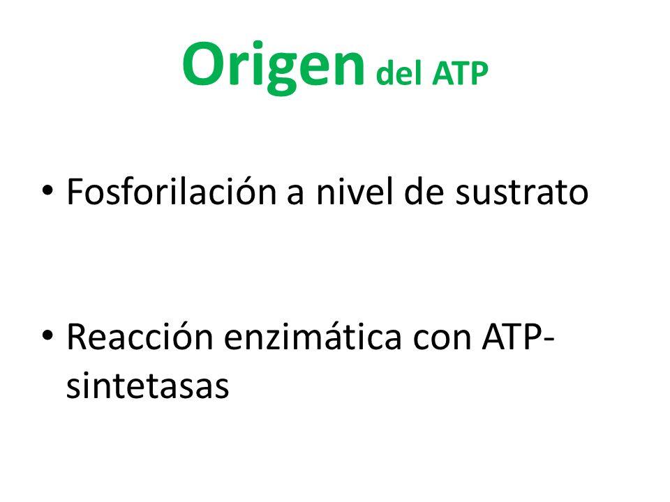 Origen del ATP Fosforilación a nivel de sustrato Reacción enzimática con ATP- sintetasas