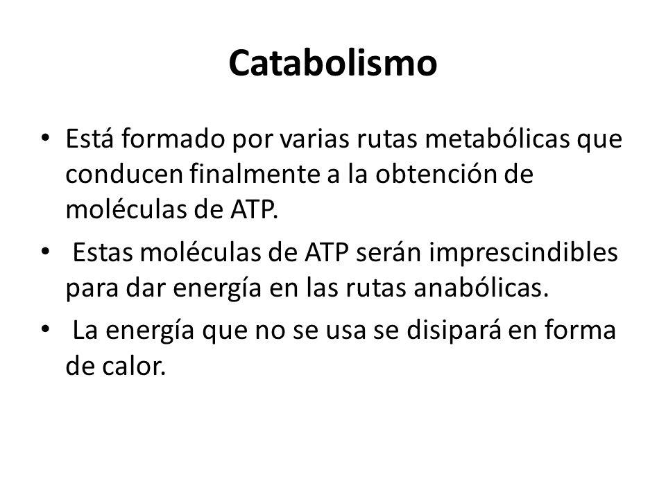 Catabolismo Está formado por varias rutas metabólicas que conducen finalmente a la obtención de moléculas de ATP. Estas moléculas de ATP serán impresc