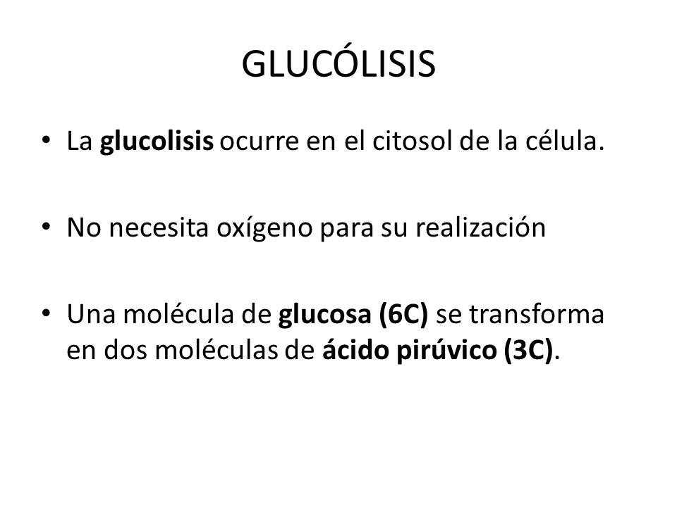 GLUCÓLISIS La glucolisis ocurre en el citosol de la célula. No necesita oxígeno para su realización Una molécula de glucosa (6C) se transforma en dos