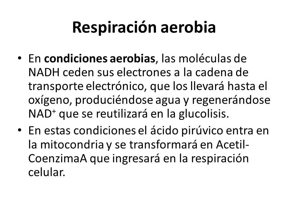 Respiración aerobia En condiciones aerobias, las moléculas de NADH ceden sus electrones a la cadena de transporte electrónico, que los llevará hasta e