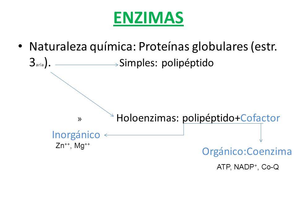 ENZIMAS Naturaleza química: Proteínas globulares (estr. 3 aria ). Simples: polipéptido » Holoenzimas: polipéptido+Cofactor Inorgánico Orgánico:Coenzim