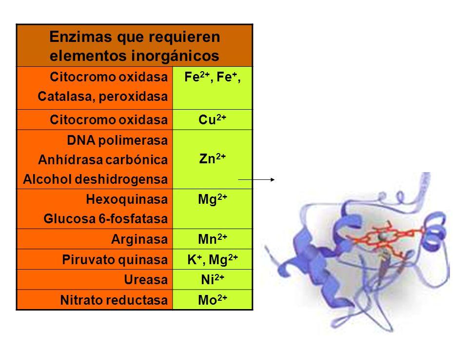 Enzimas que requieren elementos inorgánicos Citocromo oxidasa Catalasa, peroxidasa Fe 2+, Fe +, Citocromo oxidasaCu 2+ DNA polimerasa Anhídrasa carbón