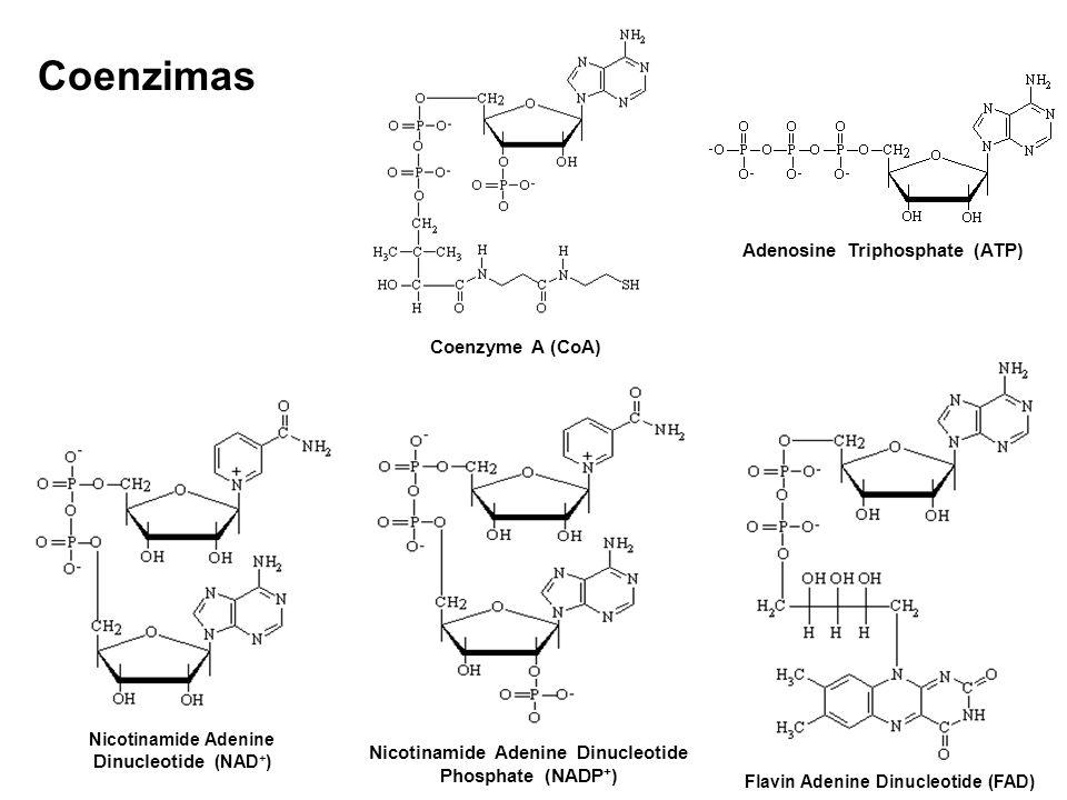 Adenosine Triphosphate (ATP) Coenzyme A (CoA) Flavin Adenine Dinucleotide (FAD) Nicotinamide Adenine Dinucleotide (NAD + ) Nicotinamide Adenine Dinucl