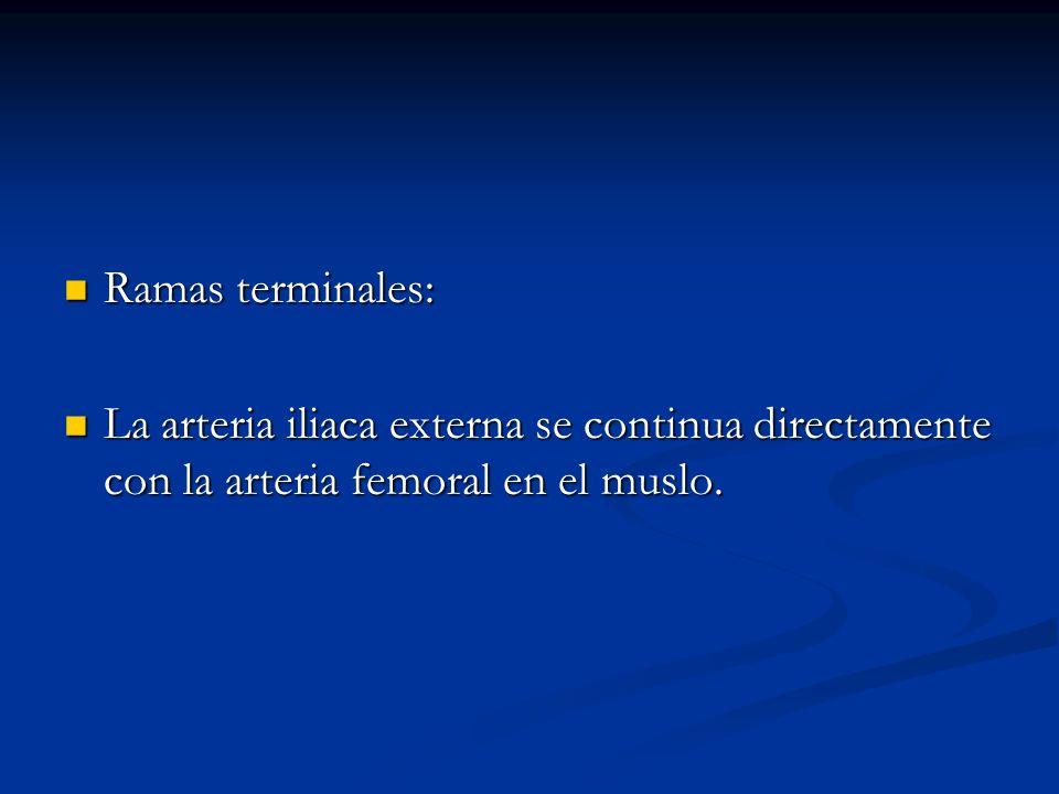 Ramas terminales: Ramas terminales: La arteria iliaca externa se continua directamente con la arteria femoral en el muslo. La arteria iliaca externa s