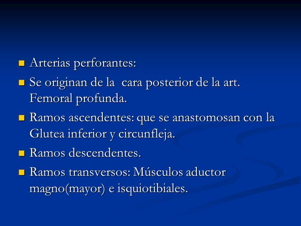 Arterias perforantes: Arterias perforantes: Se originan de la cara posterior de la art. Femoral profunda. Se originan de la cara posterior de la art.