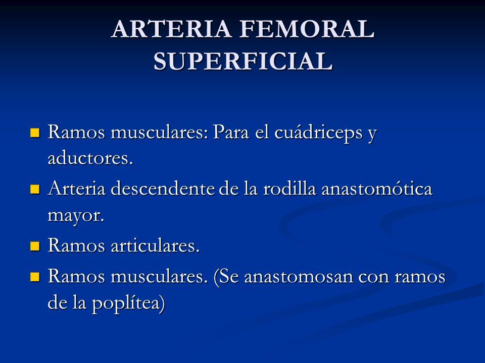 ARTERIA FEMORAL SUPERFICIAL Ramos musculares: Para el cuádriceps y aductores. Ramos musculares: Para el cuádriceps y aductores. Arteria descendente de
