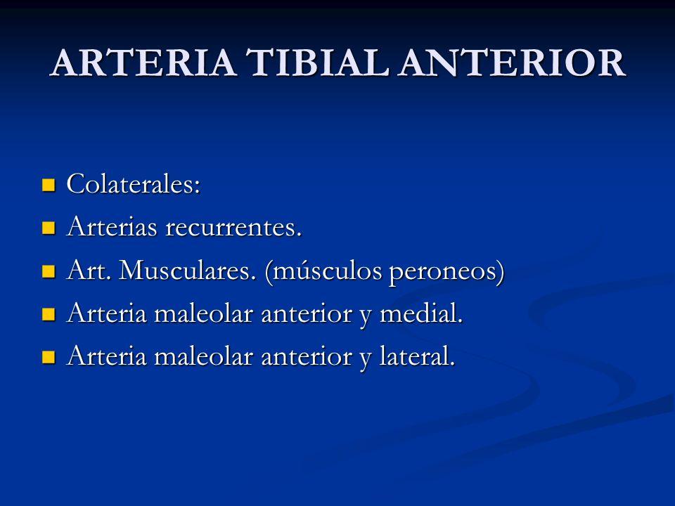 ARTERIA TIBIAL ANTERIOR Colaterales: Colaterales: Arterias recurrentes. Arterias recurrentes. Art. Musculares. (músculos peroneos) Art. Musculares. (m