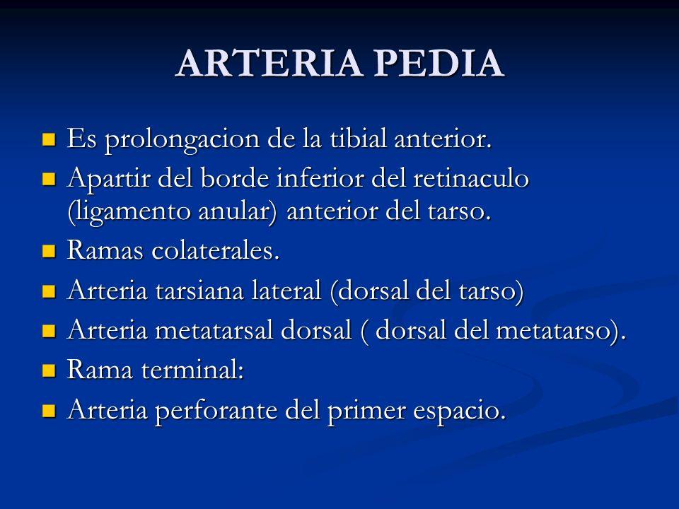 ARTERIA PEDIA Es prolongacion de la tibial anterior. Es prolongacion de la tibial anterior. Apartir del borde inferior del retinaculo (ligamento anula