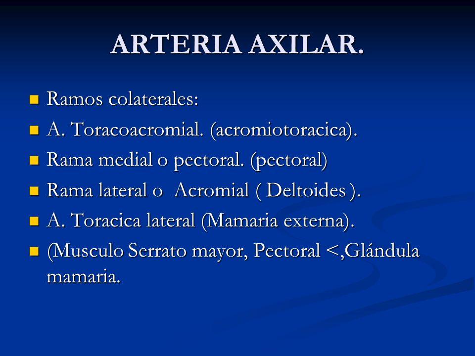 ARTERIA AXILAR. Ramos colaterales: Ramos colaterales: A. Toracoacromial. (acromiotoracica). A. Toracoacromial. (acromiotoracica). Rama medial o pector