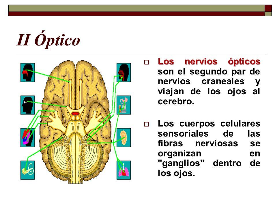 II Óptico Los nervios ópticos Los nervios ópticos son el segundo par de nervios craneales y viajan de los ojos al cerebro. Los cuerpos celulares senso