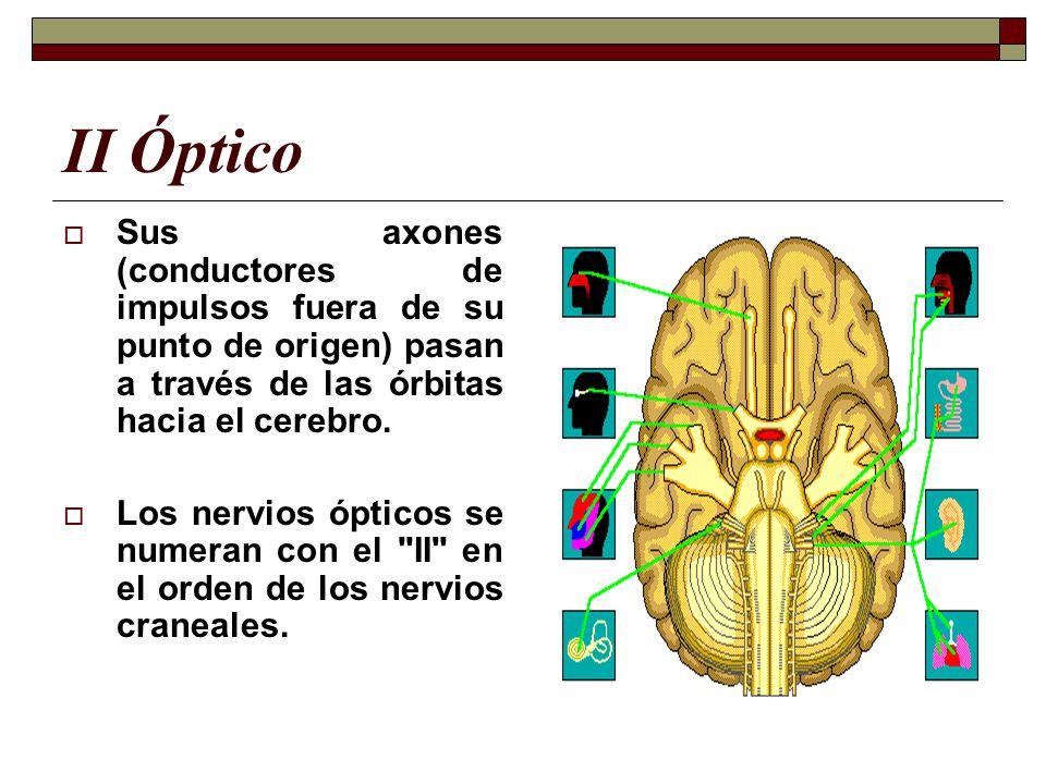 II Óptico Sus axones (conductores de impulsos fuera de su punto de origen) pasan a través de las órbitas hacia el cerebro. Los nervios ópticos se nume