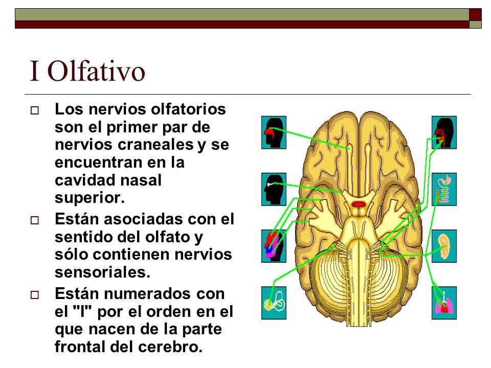 I Olfativo Los nervios olfatorios son el primer par de nervios craneales y se encuentran en la cavidad nasal superior. Están asociadas con el sentido