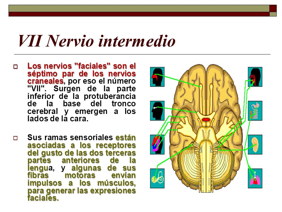 VII Nervio intermedio Los nervios