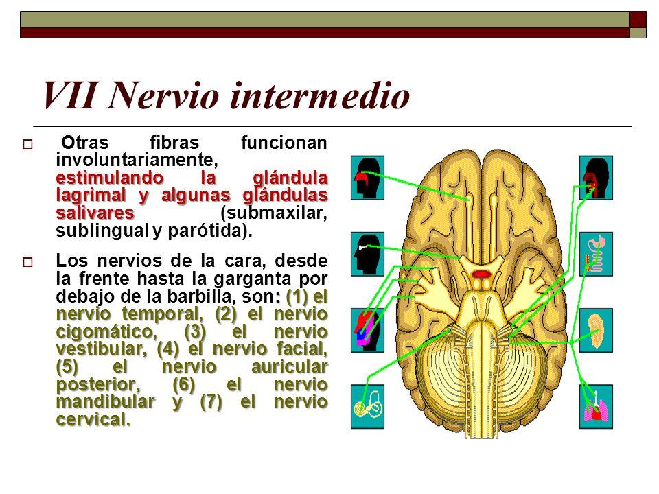 VII Nervio intermedio estimulando la glándula lagrimal y algunas glándulas salivares Otras fibras funcionan involuntariamente, estimulando la glándula