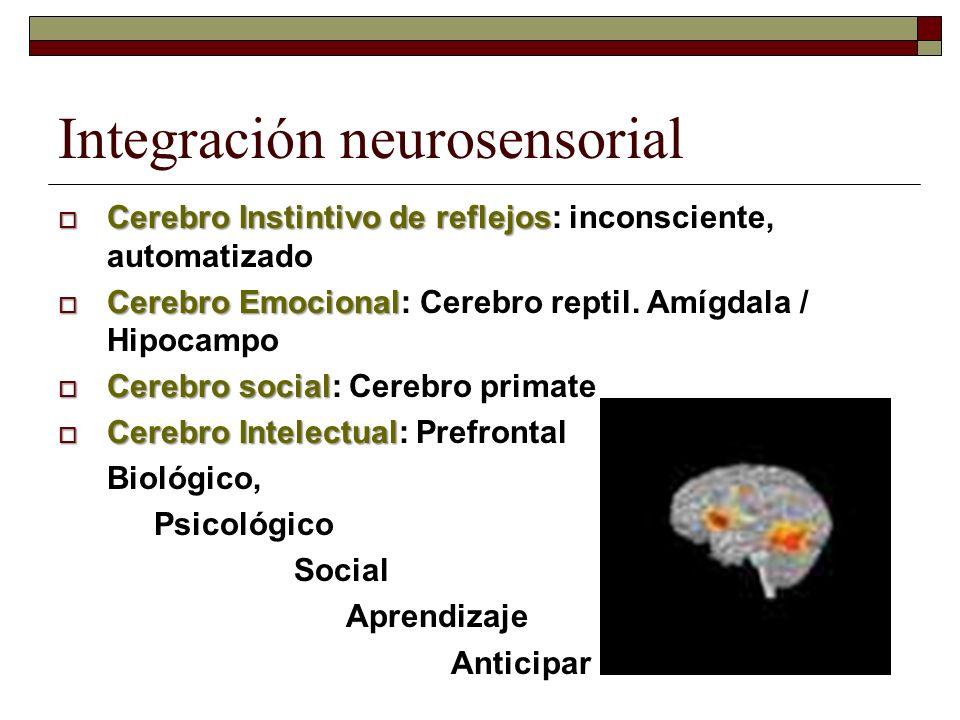 Integración neurosensorial Cerebro Instintivo de reflejos Cerebro Instintivo de reflejos: inconsciente, automatizado Cerebro Emocional Cerebro Emocion