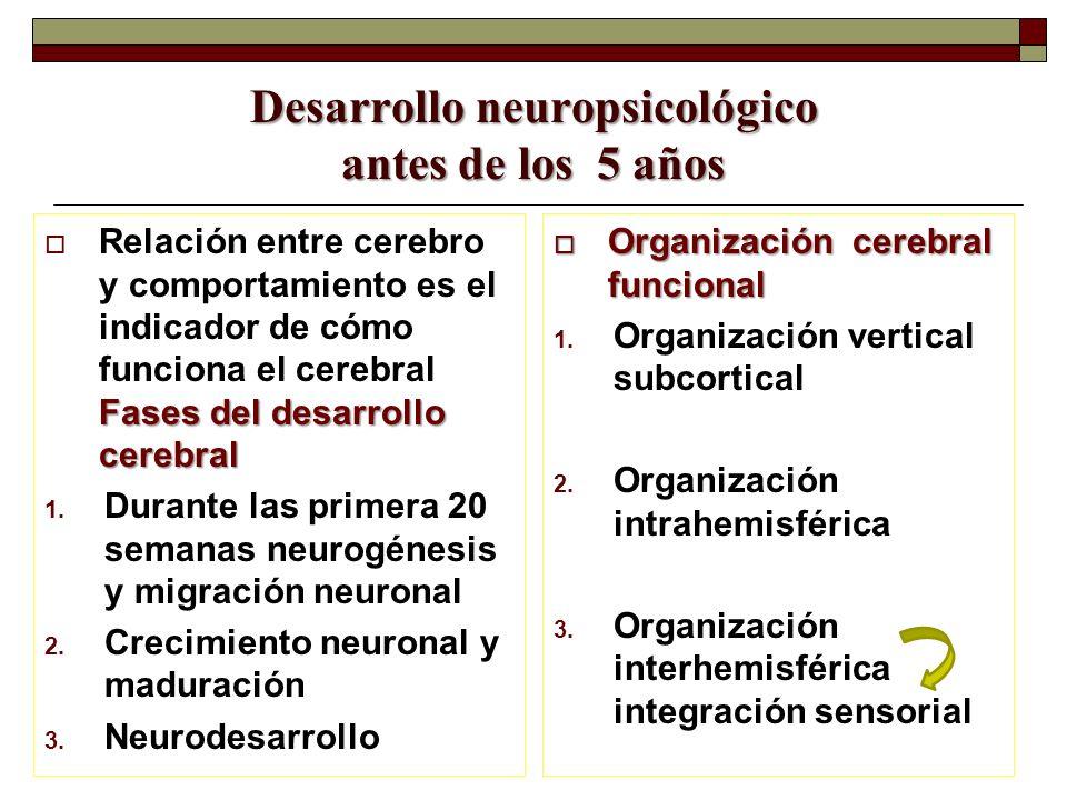 Desarrollo neuropsicológico antes de los 5 años Fases del desarrollo cerebral Relación entre cerebro y comportamiento es el indicador de cómo funciona