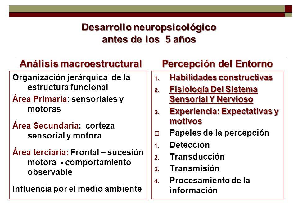 Desarrollo neuropsicológico antes de los 5 años Análisis macroestructural Organización jerárquica de la estructura funcional Área Primaria: sensoriale