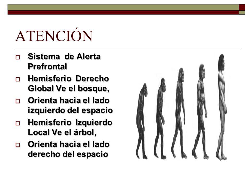 ATENCIÓN Sistema de Alerta Prefrontal Sistema de Alerta Prefrontal Hemisferio Derecho Global Ve el bosque, Hemisferio Derecho Global Ve el bosque, Ori