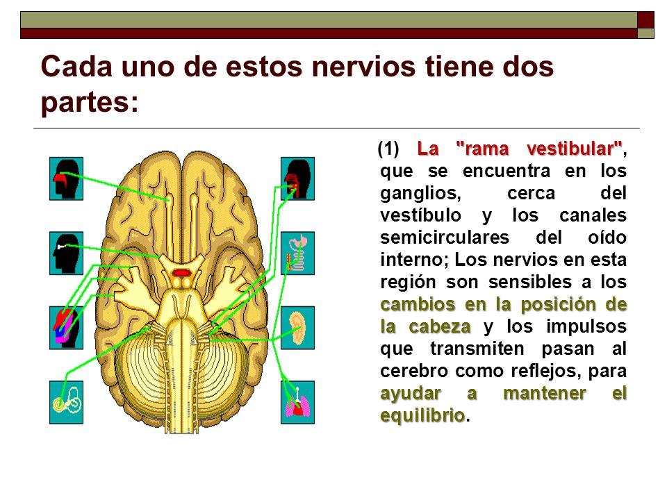 Cada uno de estos nervios tiene dos partes: La