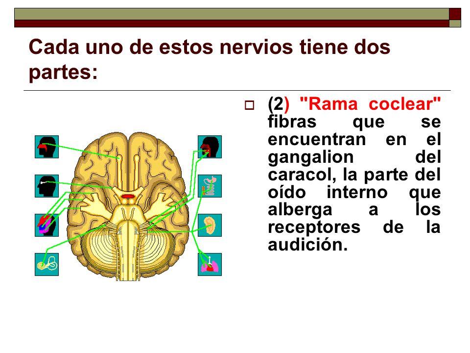 Cada uno de estos nervios tiene dos partes: (2)