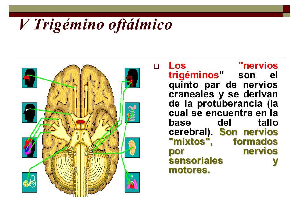 V Trigémino oftálmico Son nervios