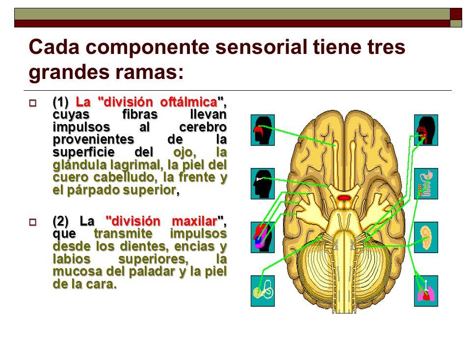 Cada componente sensorial tiene tres grandes ramas: La división de la mandíbula , (3) La división de la mandíbula , que tiene de ambas fibras.