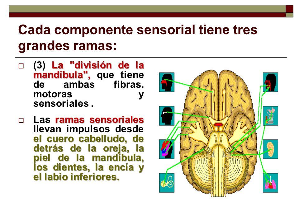 Cada componente sensorial tiene tres grandes ramas: Las ramas motoras inervan los músculos de la masticación y ciertos músculos del suelo de la boca Las ramas motoras inervan los músculos de la masticación y ciertos músculos del suelo de la boca.