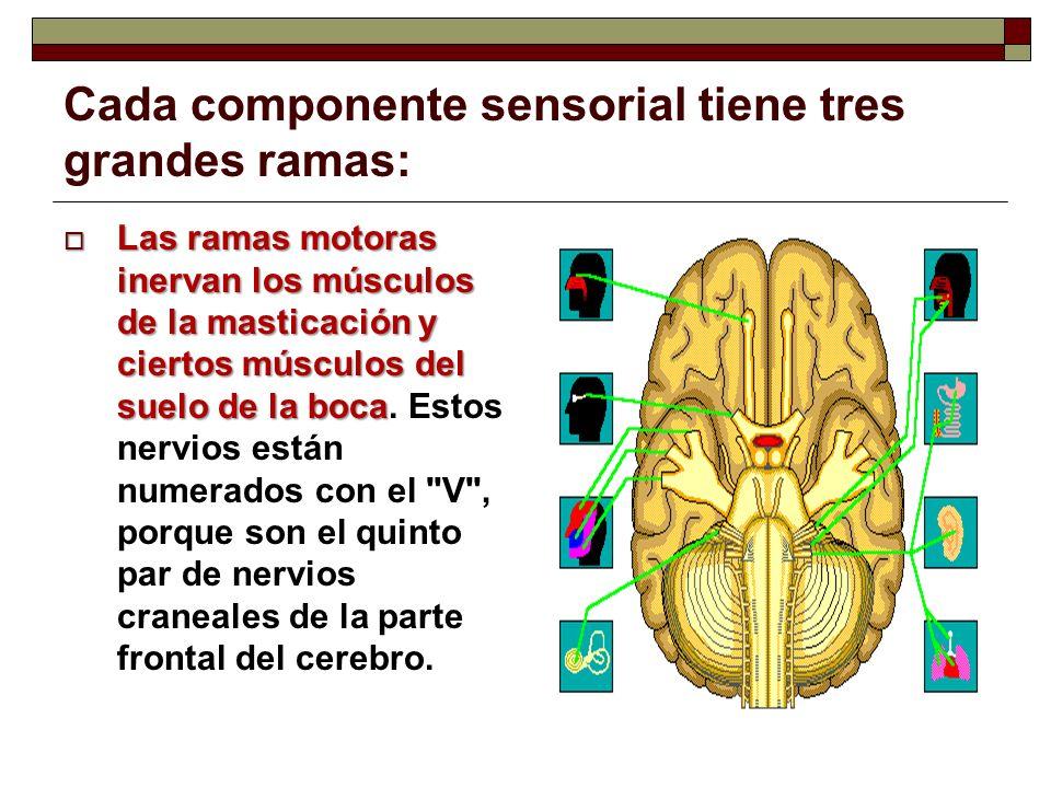 Cada componente sensorial tiene tres grandes ramas: Las ramas motoras inervan los músculos de la masticación y ciertos músculos del suelo de la boca L