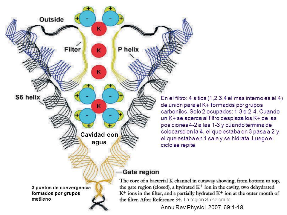 Annu Rev Physiol. 2007. 69:1-18 En el filtro: 4 sitios (1,2,3,4 el más interno es el 4) de unión para el K+ formados por grupos carbonilos. Solo 2 ocu