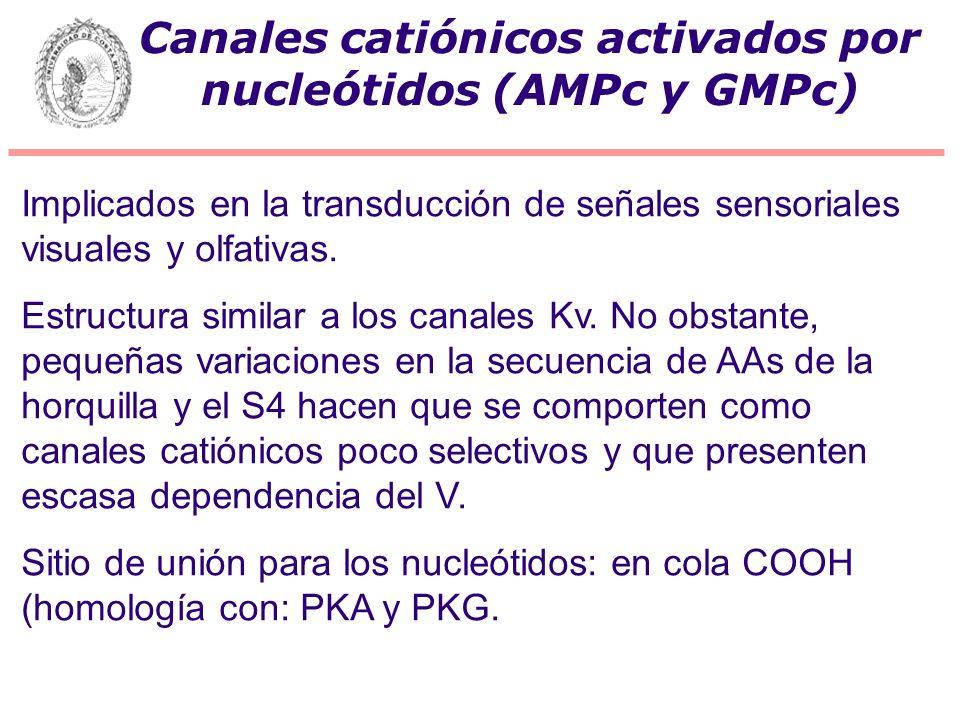 Canales catiónicos activados por nucleótidos (AMPc y GMPc) Implicados en la transducción de señales sensoriales visuales y olfativas. Estructura simil