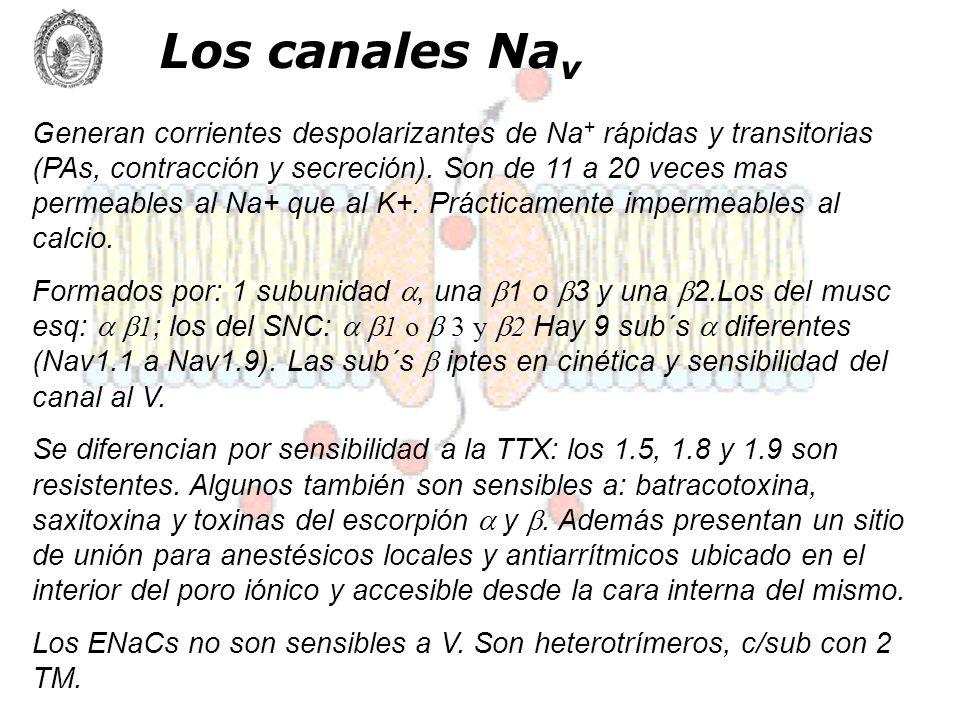 Los canales Na v Generan corrientes despolarizantes de Na + rápidas y transitorias (PAs, contracción y secreción). Son de 11 a 20 veces mas permeables