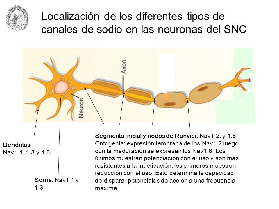Localización de los diferentes tipos de canales de sodio en las neuronas del SNC Dendritas: Nav1.1, 1.3 y 1.6 Soma: Nav1.1 y 1.3 Segmento inicial y no