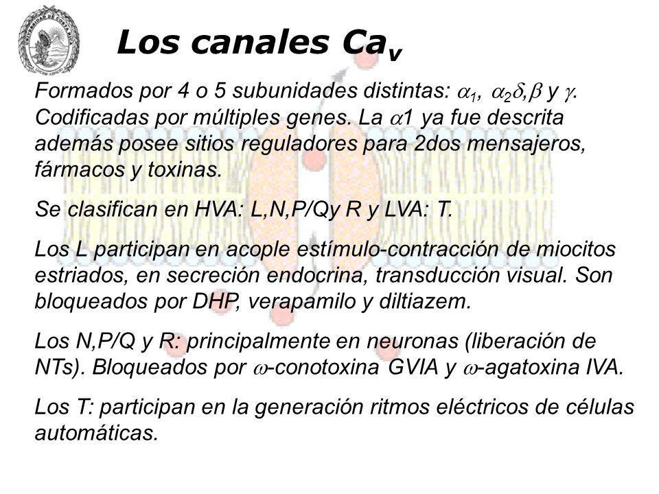Los canales Ca v Formados por 4 o 5 subunidades distintas: 1, 2, y. Codificadas por múltiples genes. La 1 ya fue descrita además posee sitios regulado
