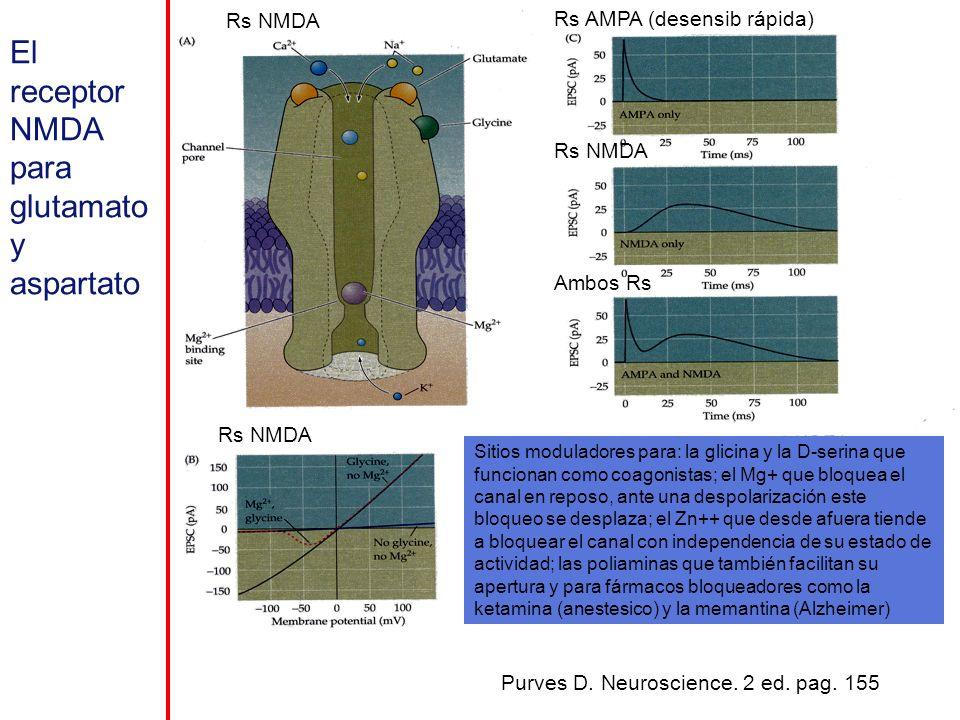 Sitios moduladores para: la glicina y la D-serina que funcionan como coagonistas; el Mg+ que bloquea el canal en reposo, ante una despolarización este