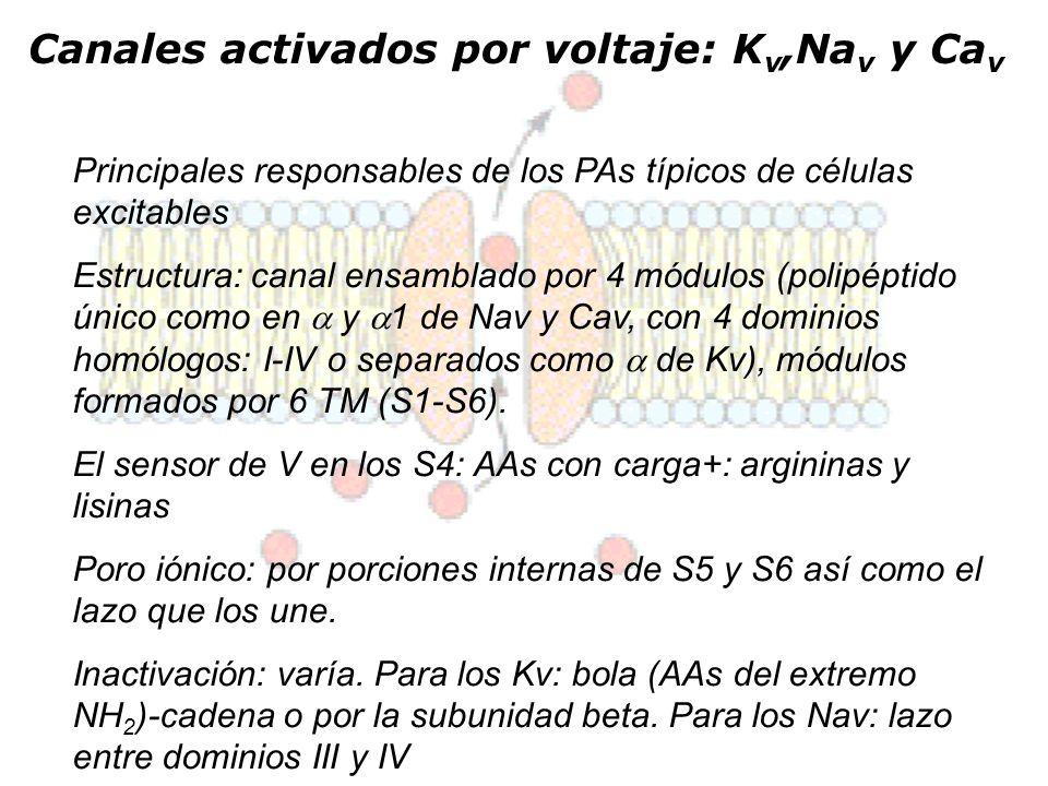 Canales activados por voltaje: K v,Na v y Ca v Principales responsables de los PAs típicos de células excitables Estructura: canal ensamblado por 4 mó